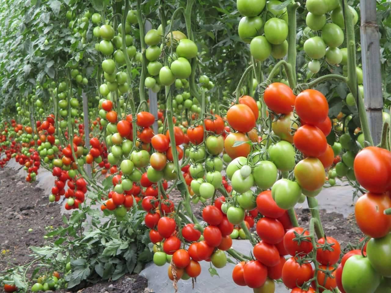 pemanenan dan pemetikan buah tomat