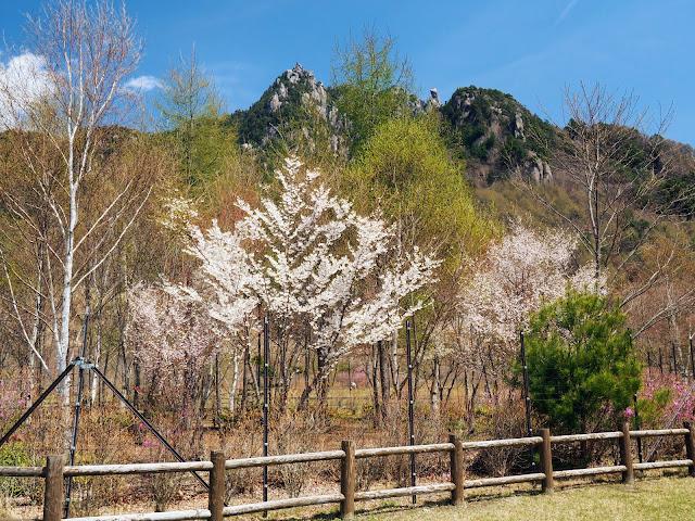 瑞牆山 みずがき山自然公園 桜