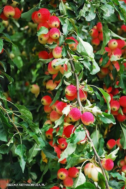 jabłoń john
