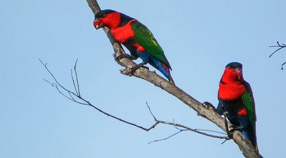 perbedaan burung nuri kepala hitam jantan dan betina