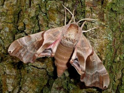 Smerinthus kindermannii female
