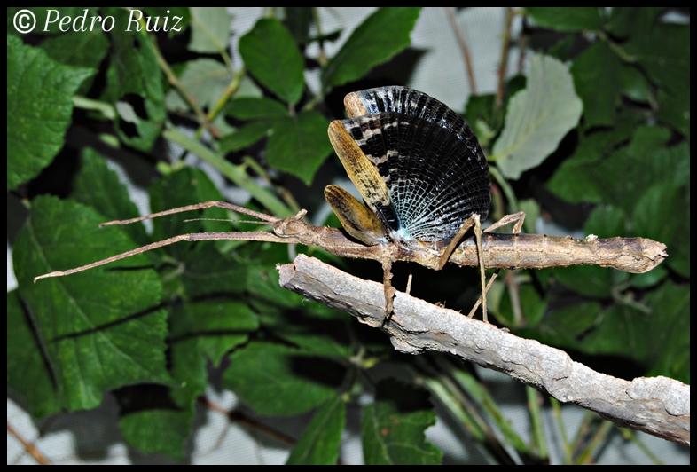 Detalle de las alas de una hembra adulta de Onchestus rentzi
