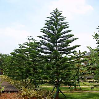 Ciri Ciri Khusus Pohon Cemara