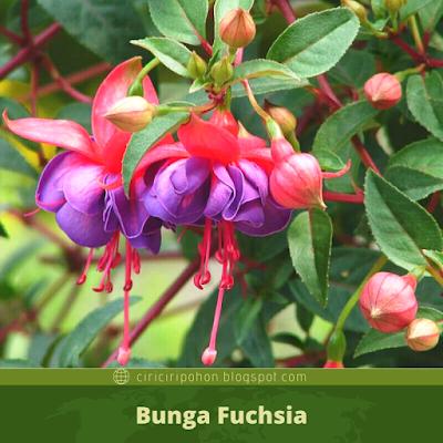 Ciri Ciri Bunga Fuchsia