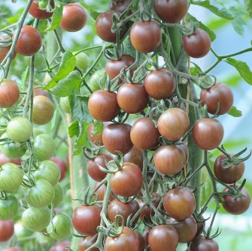 Benih Bibit Tomat Black Cherry Haira Seed Lampung
