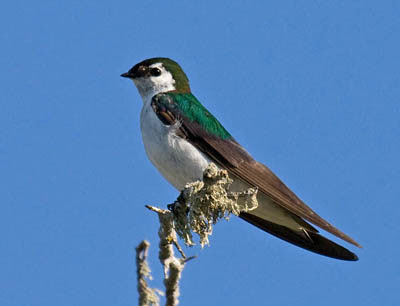 Photo of Violet-green Swallow on branch