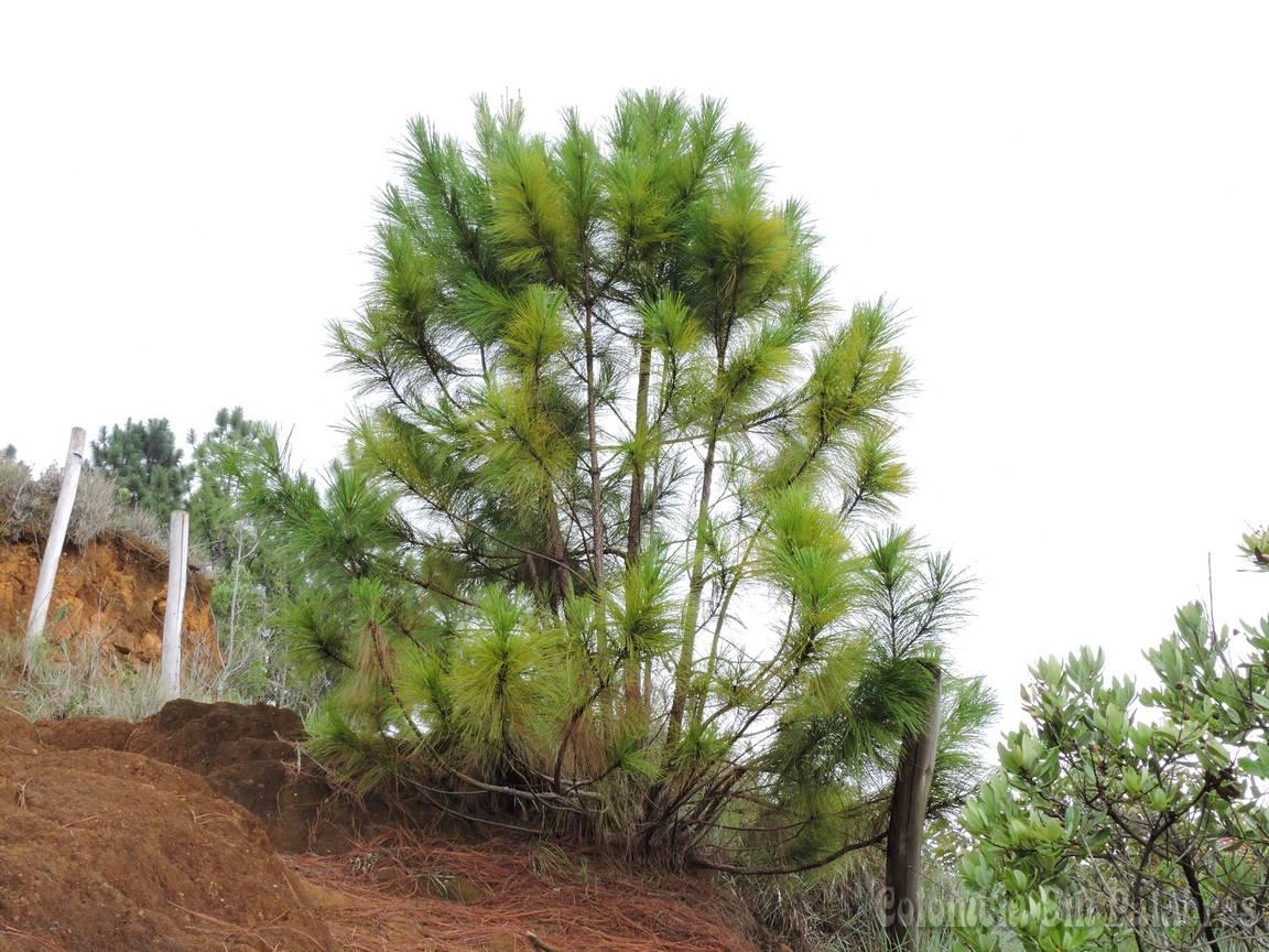 pinos pequeños coloridos con verde claro
