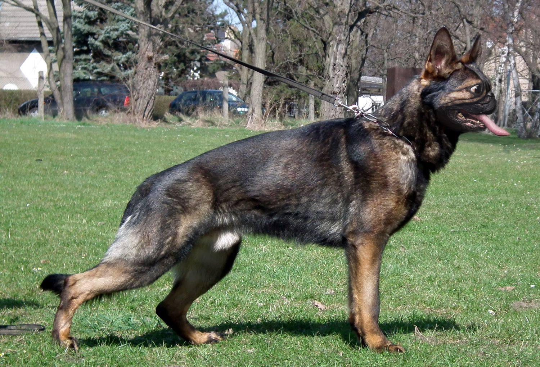 pug and german shepherd mix