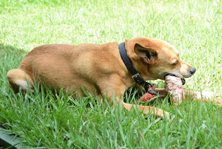 Dog chewing on bone outside in the grass