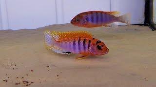 """Labidochromis sp. """"Hongi"""""""