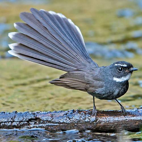 Indian birds - Photo of White-throated fantail - Rhipidura albicollis