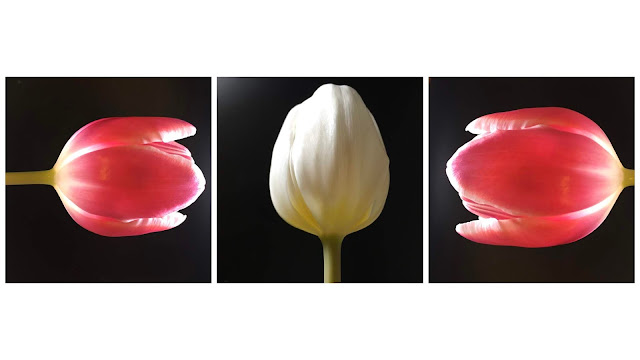 3 tulip flowers in a row at arty angles