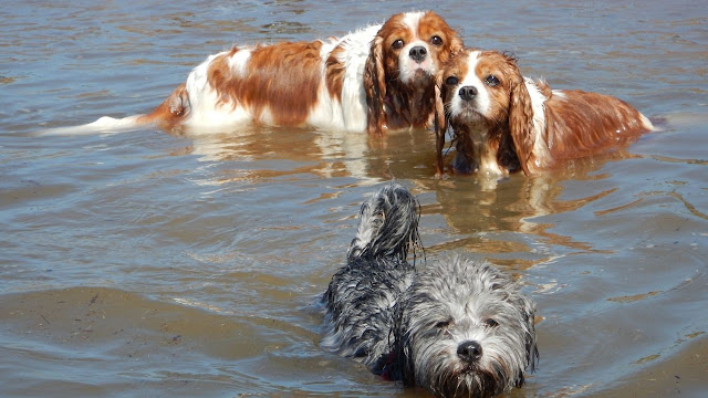 Are Cavalier King Charles Spaniels Good Swimmers?