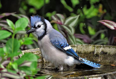 Photo of Blue Jay in bird bath. Skeeze from Pixabay