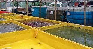 Cara Ferementasi air Kolam terpal Udang Galah Yang Benar