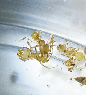 Workers of Lophomyrmex tending to the brood