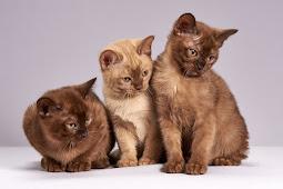 Jenis Kucing Burmese