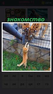 происходит знакомство кошки и тигров в клетке