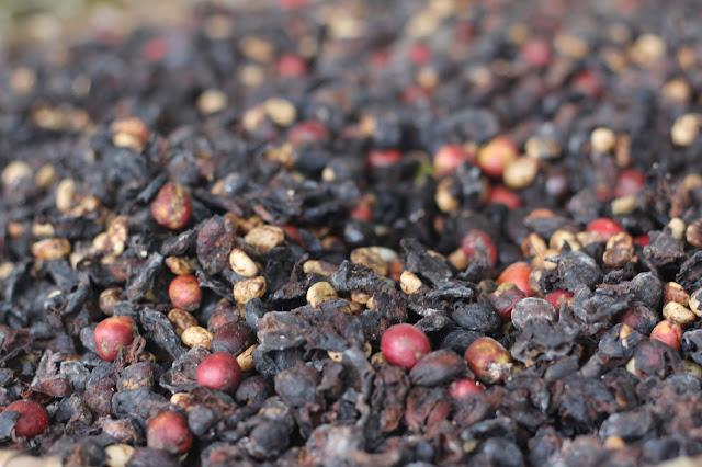 Cà phê còn lại trên máng chồn được đem ủ vi sinh bằng chế phẩm enzym mô phỏng quá trình phân giải sinh học trong hệ tiêu hóa chồn