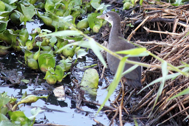 Juvenile White-breasted Waterhen