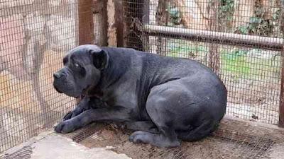 أشرس 10 سلالات من الكلاب في العالم ! الجزء الثاني