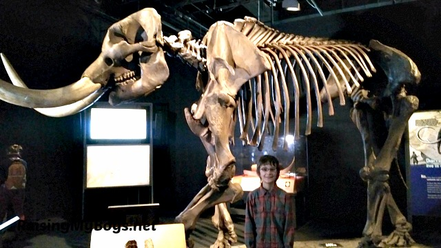 mastodon skeleton (replica)