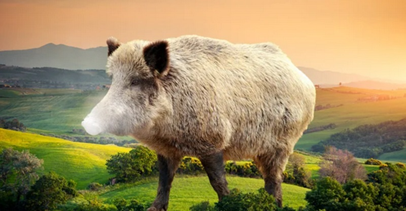 Grupo de porcos selvagens consome 92.000 reais em cocaína escondida no mato