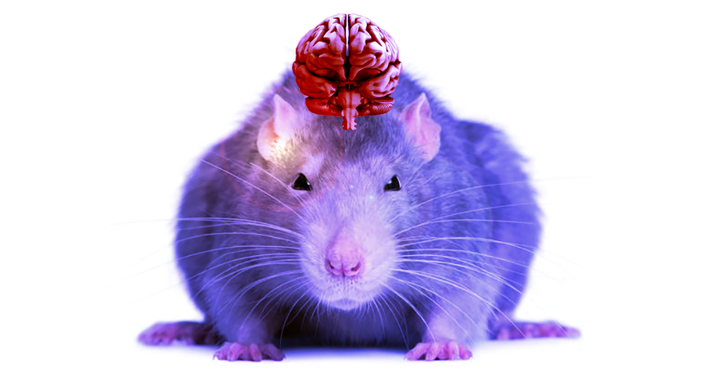 Brain Organoids Growing Inside Rats Raise Ethical Concerns