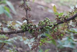 Memahami Tumbuhan ANDALIMAN KHAS SUMATERA