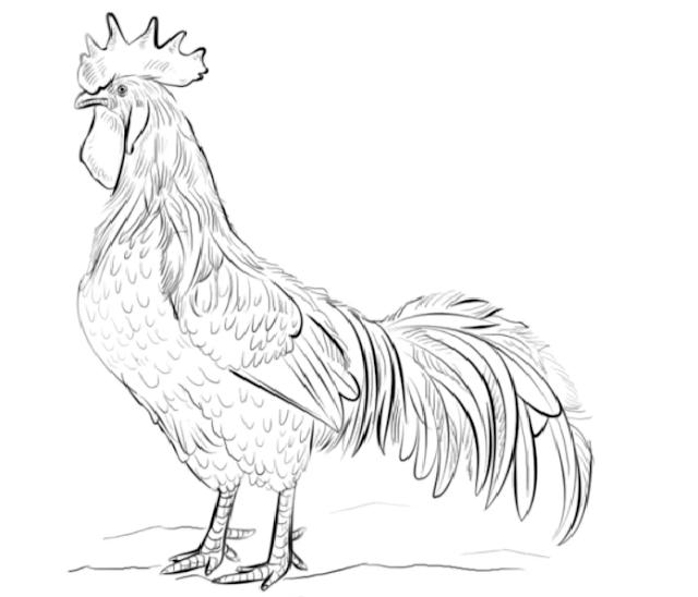 gambar ayam betina sketsa
