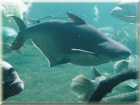 Iridescent Shark Fish Pictures