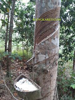 https://www.kangkaret.com/2019/09/cara-memperbanyak-hasil-getah-karet.html