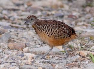 Mengetahui Tempat Dan Lokasi Sarang Burung Puyuh Di Habitatnya Di Alam Bebas