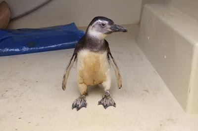 SOS pinguins - Resgate em Ilha Comprida