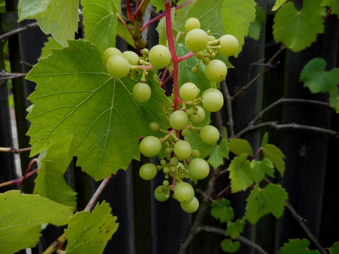 Grappolo d'uva, 5 agosto 2016