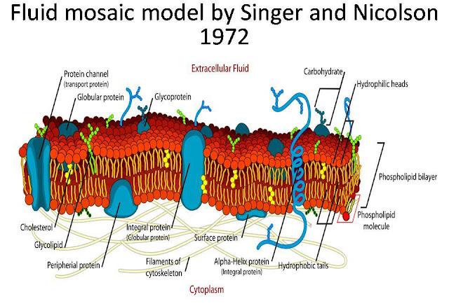 Fluid Mosaic Model Related Keywords & Suggestions - Fluid ... Fluid Mosaic Model