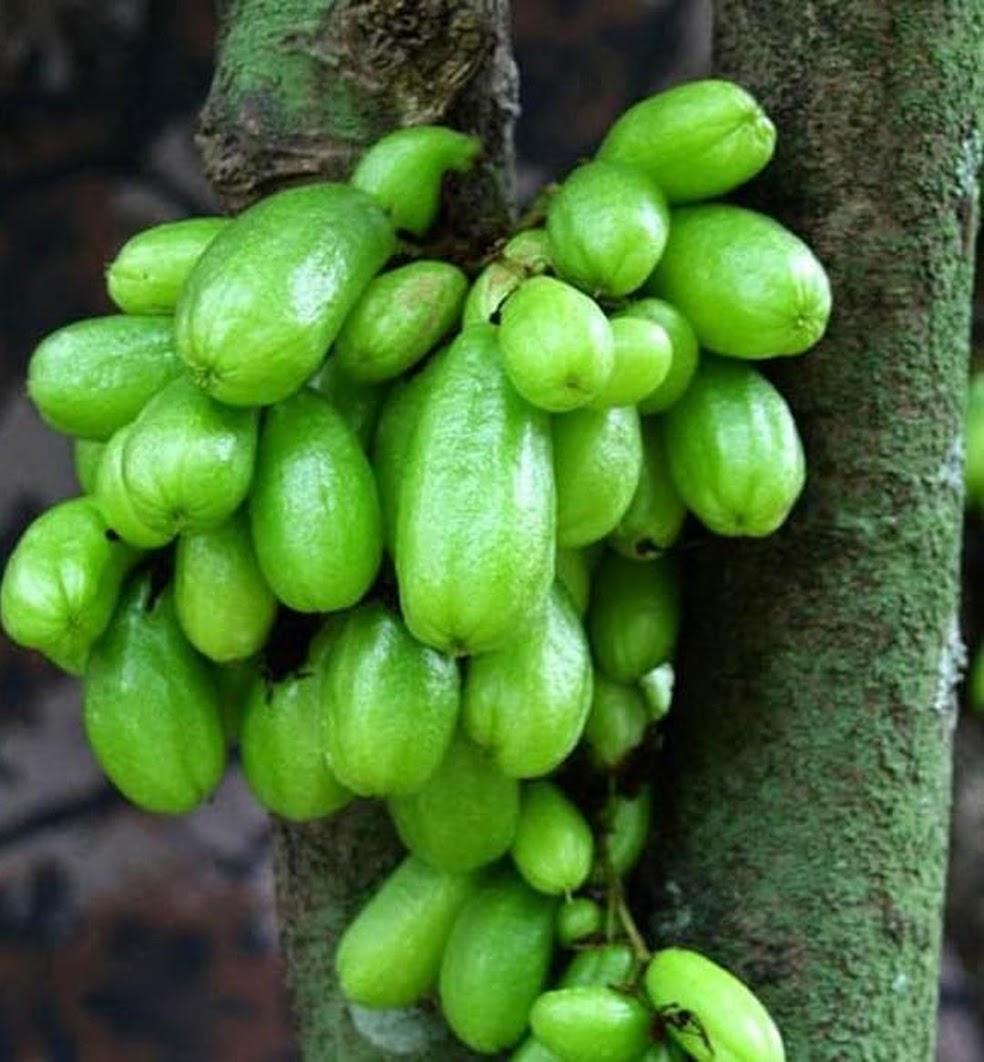 Bibit tanaman Buah Belimbing Wuluh Blimbing wulu Kupang