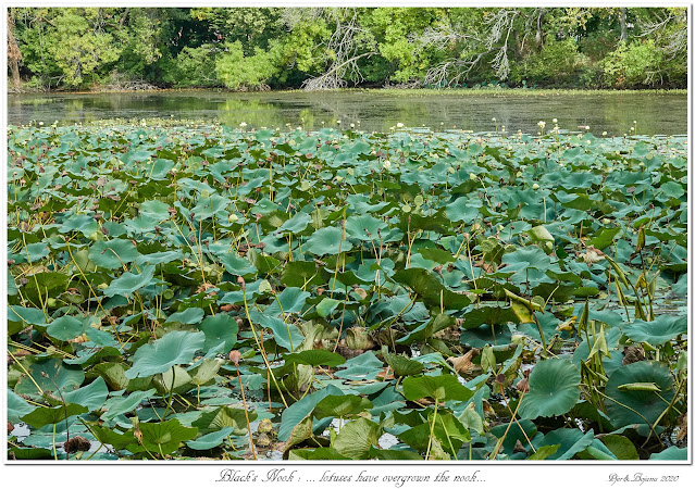 Black's Nook: ... lotuses have overgrown the nook...