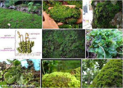 Pengertian, Jenis-Jenis, dan Manfaat Lumut (Bryophyta)