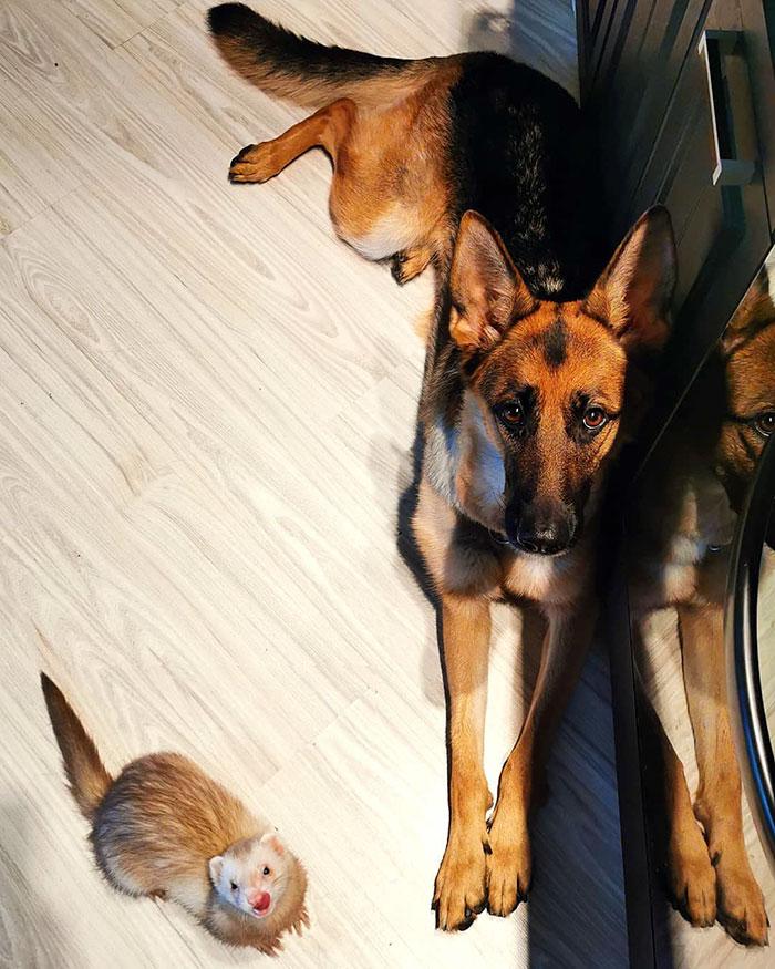 German Shepherd And Ferret Become Unlikely Best Friends