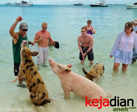 aneh pulau babi Uniknya Pulau Babi Surga Para Babi, Pacar Ronaldo pun Tertarik Mengunjunginya