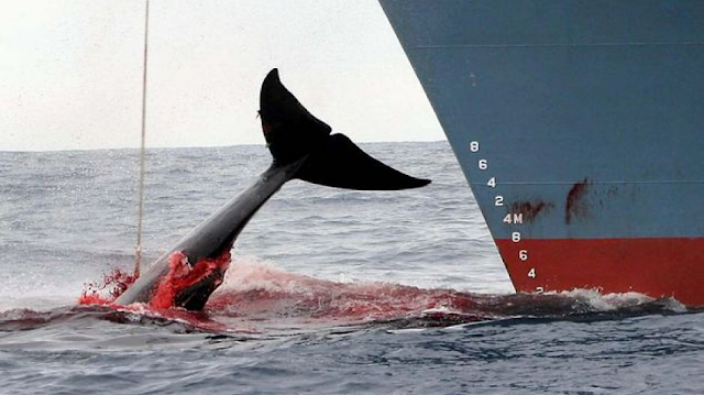 Un mar de sangre: Japón mata más de 200 ballenas embarazadas