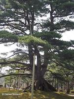 Neagarinomatsu pine - Kenroku-en Garden, Kanazawa, Japan