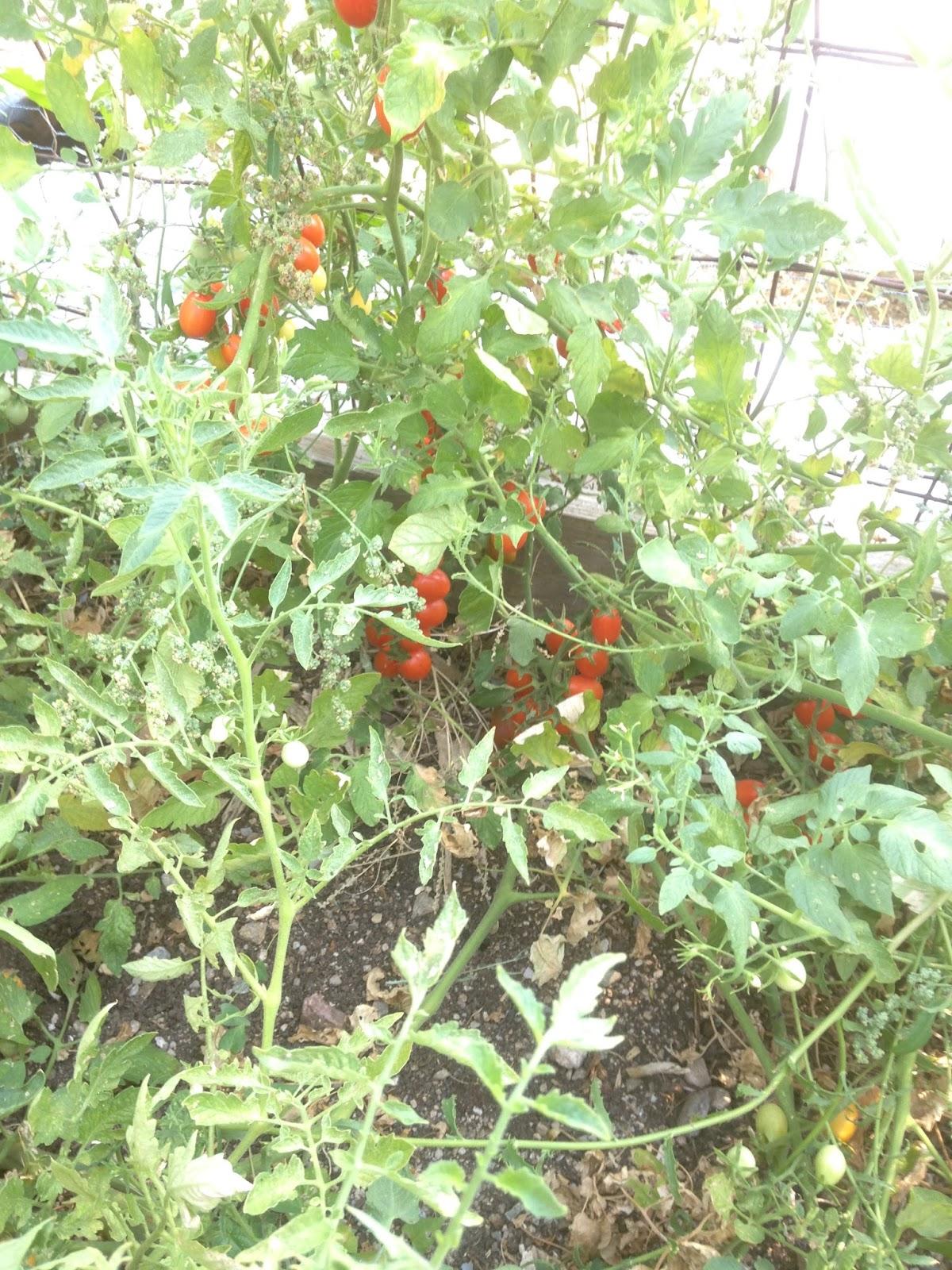 The Edible Garden Harvest Monday