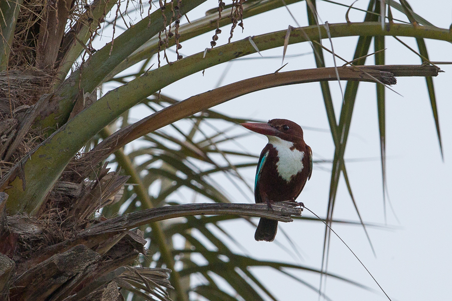 White-throated Kingfisher – Dhahran Hills