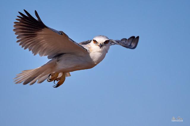 Black-Winged Kite Eye Contact