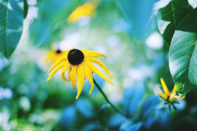rudbekia, kwiaty, fotografia kwiatów, canon 50mm 1.4, bokeh, bokeh photography