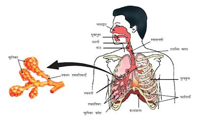 श्वसन तंत्र की संरचना, क्रिया विधि एवं कार्य
