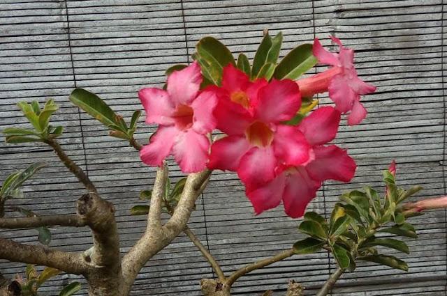 Ciri ciri Bunga Kamboja Jepang