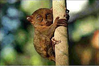 Необычные приматы, долгопят